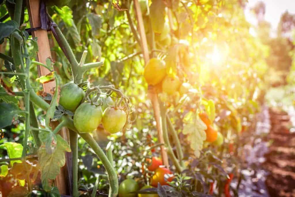 guava limb san ignacio belize organic vegetables